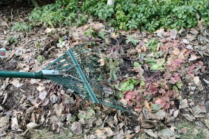 Raking dead foamybells foliage and matted leaves.
