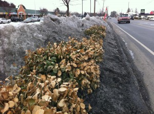 Roadside euonymus that have taken a beating from snow dumping, salt and windburn.