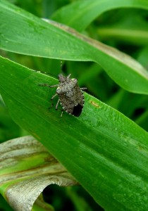 Brown marmorated stinkbug... down but not out.