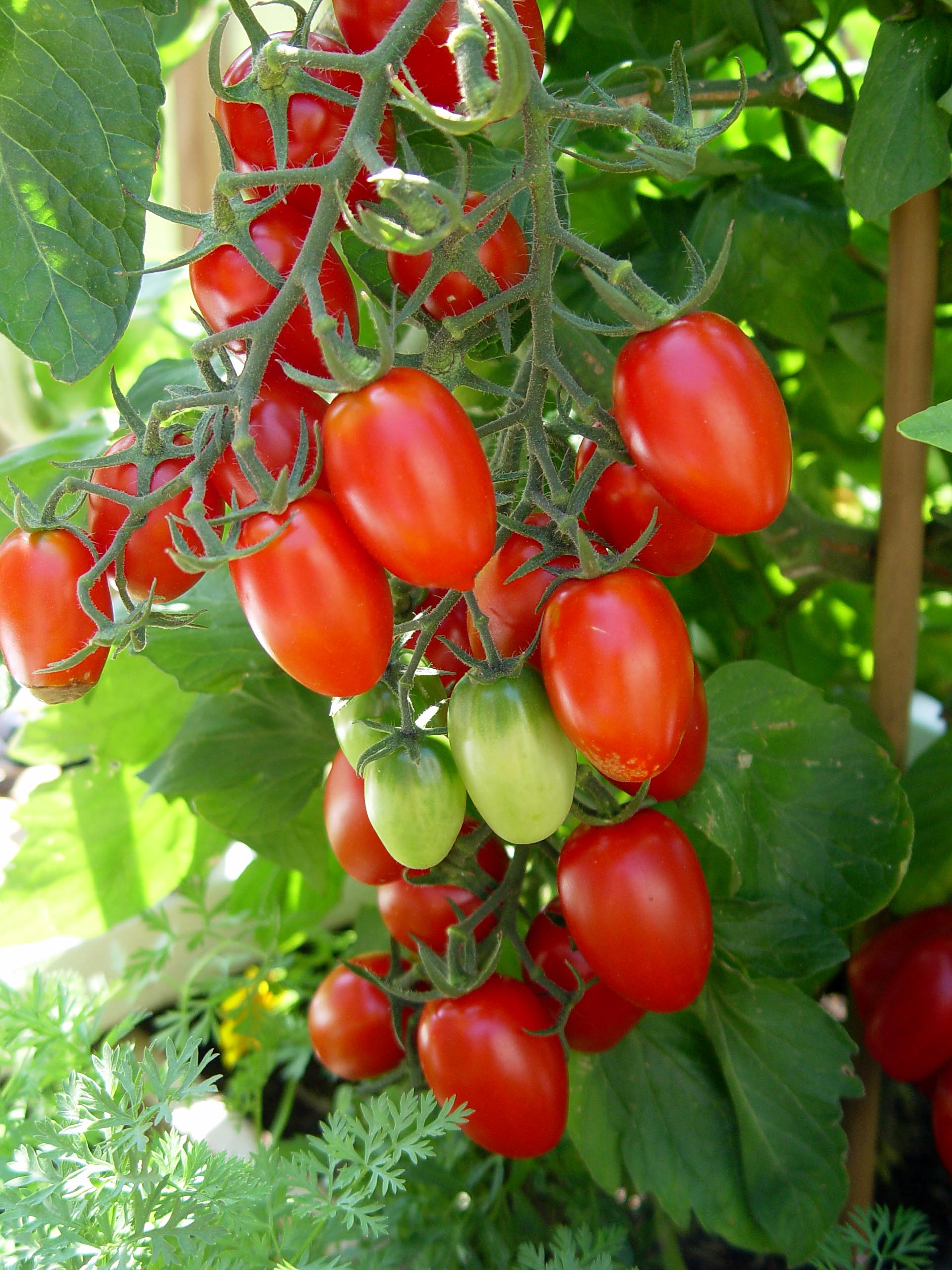 how to grow the best tomatoes from seed