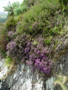 Heather growing beautifully out of solid rock. The only catch is that this is in Ireland.