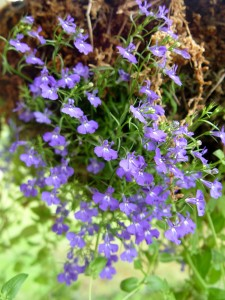 What lobelia looks like in the pot at purchase time.