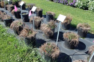 What lobelias usually look like in summer. Here's a trial planting of them at Penn State's Trial Gardens.