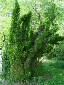 Arborvitae disfigured from winter snow and ice loads.