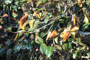 Hardy camellia leaves damaged by cold winds.
