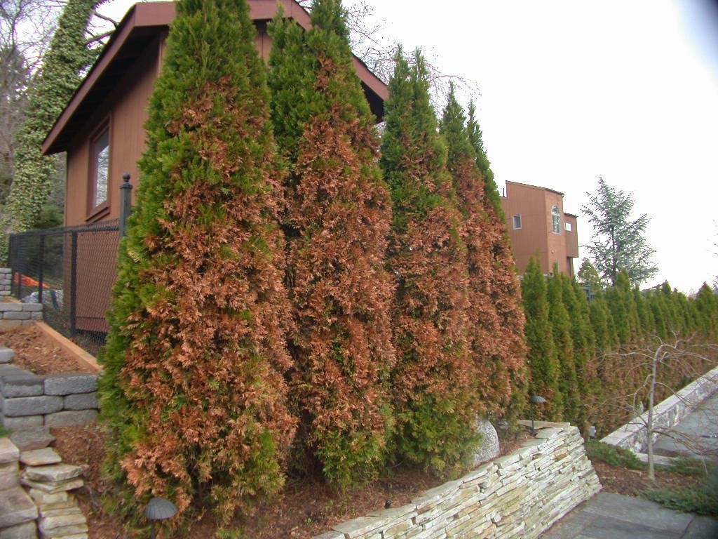 Arborvitae Winter Burn