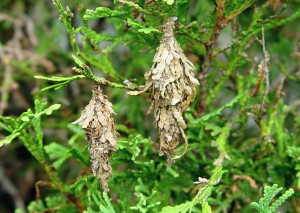 Bagworms on an arborvitae.