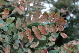 Leafminers have browned out these black locust leaves.