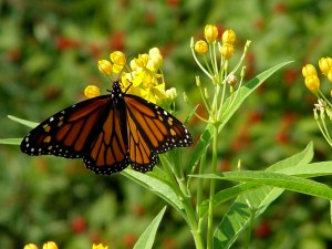 A monarch butterfly having a sip of floral sweetness.