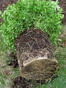 Check to see how rootbound plants might be after a season in the pot.