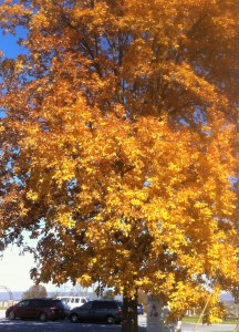A shagbark hickory in full fall golden glory against a blue-sky backdrop.