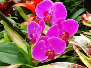 Moth orchids are some of the easiest orchids to grow. (Credit: Sonny Bender)