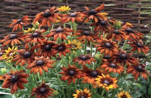 Here's an Echibeckia Summerina Orange, a cross of coneflower and black-eyed susan. Credit: Pacific Plug and Liner
