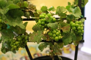 Pixie grapes grow only to the size of peas on plants that stay under 2 feet tall.