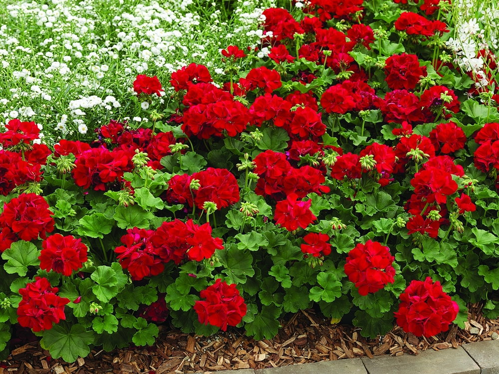 Geranium calliope dark red garden housecalls for Plantas de exterior resistentes