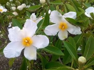 The gordlinia is a new type of tree that's a cross of gordonia and franklinia.
