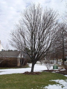 Winter is a good time to check for brewing tree trouble, such as this maple that has begun to lean.