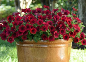 Petunia Easy Wave Red Velour. Credit: National Garden Bureau