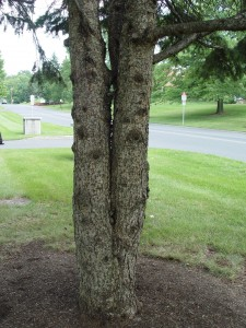 "This is a tree with a double leader or ""V-crotch"" that's likely to split apart like a turkey bone. One of the ""V's"" should be removed when the tree is young."