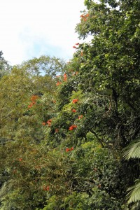 The African tulip tree has red flowers at the branch tops... and a not-so-nice scent when they're squeezed.