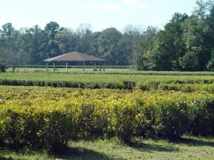The Charleston Tea Plantation has acre after acre of trimmed camellias.