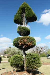 "Pearl Fryar's signature topiary is this Leyland cypress pruned into a ""bonefish"" shape."