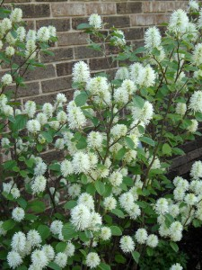 "Fothergilla is usually listed as a ""native plant,"" but it's not native to Pennsylvania."