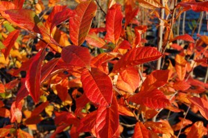 The fall leaf color of black gum 'Wildfire.'