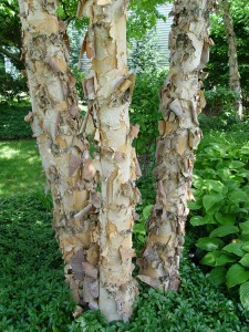 The peeling cinnamon-colored bark of river birch.