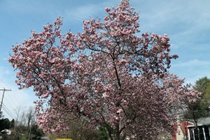 A saucer magnolia in full bloom.