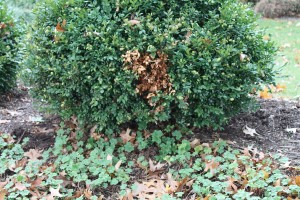 Disease on this boxwood? Not quite. This brown spot is from a dog peeing on the bush.