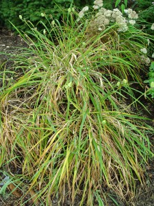 This diseased daylily (leaf streak) can be cut to the ground, and it'll regrow new foliage.