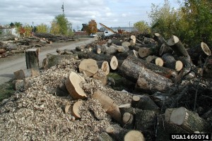 This is what happened to so many of Michigan's ash trees. Credit: U.S. Dept. Forestry