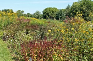 Meadow-style gardens have become trendy as a way to attract pollinators and reduce mowing.