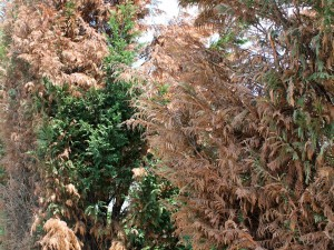 Windburn damage to conifers and broad-leafed evergreens is the most common winter damage.