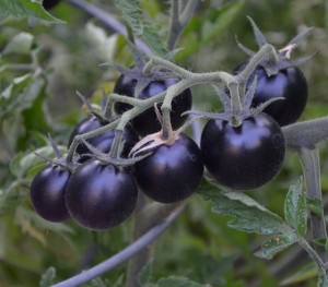 The blue cherry fruits of 'Dancing with Smurfs' tomato. Credit: Stauffers of Kissel Hill