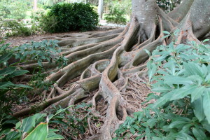 The panel-like roots of the Moreton Bay fig at Selby Gardens.