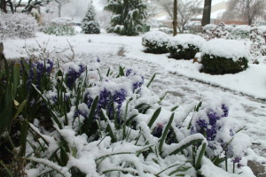 Just when our hyacinths and gardens thought it was spring, look what we got on Saturday.