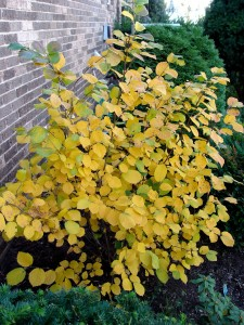 Fall foliage of 'Mt. Airy' fothergilla