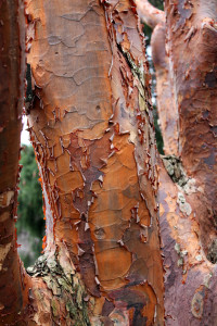 Bark of the paperbark maple
