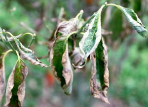 If leaves are browning around the edges, they need water ASAP (and better yet, yesterday).