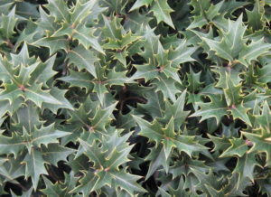 Holly tea olive 'Gulftide.' Photo by Pleasant Run Nursery