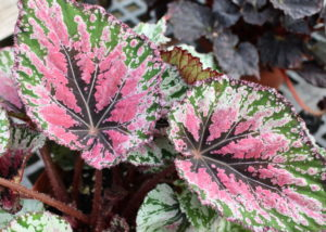 Houseplants aren't all plain-Jane green. Check out this Rex begonia.