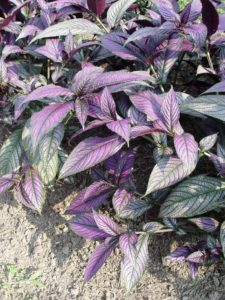 Persian shield is my favorite in-and-out tropical.