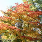 What's Killing the Japanese Maples?