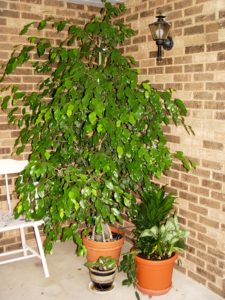 My ficus outside on the front porch before morphing into the Christmas ficus.