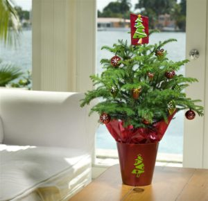 Norfolk Island pine is a natural at converting into a Christmas tree. Credit: Costa Farms