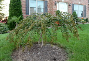 "Consider planting Japanese maples ""high"" in a mounded bed as Hampden Twp. gardener Hylton Hobday has done with this crape myrtle."