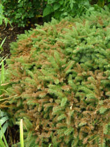This not-so-heat-tolerant birds nest spruce is showing brown needles from heat stress.