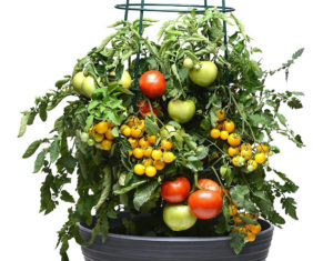 Take 2 Tomato combo Credit: Ball Horticultural Co.